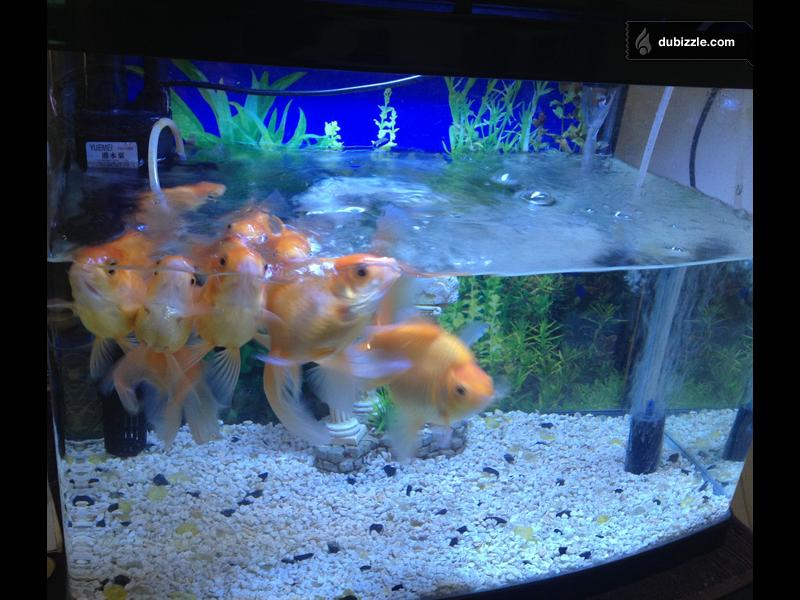 Image 1 of fish aquarium with 9 goldfish for Outdoor goldfish for sale